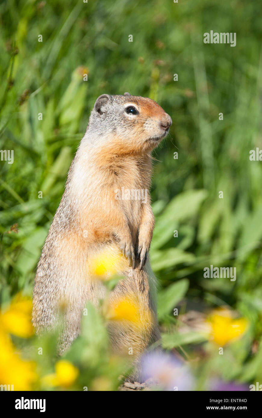 Columbian Ground Squirrel (Urocitellus columbianus),  Glacier National Park, Montana Stock Photo