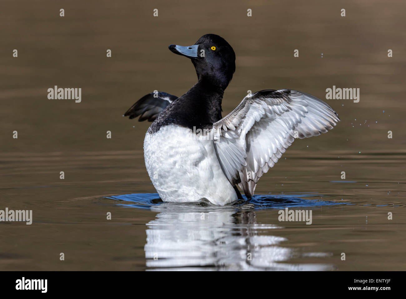 Male Tufted Duck flapping wings - Stock Image