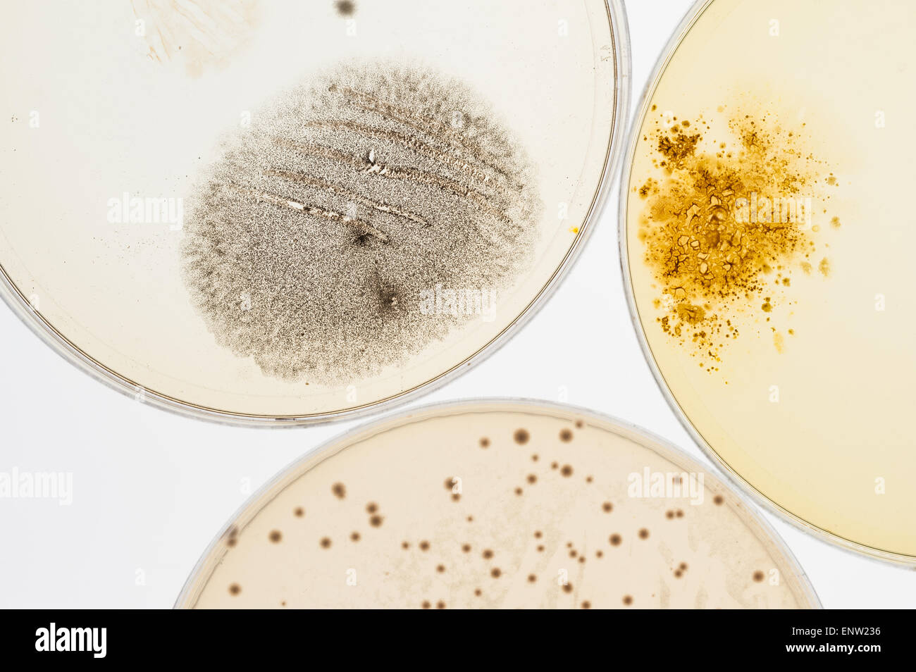 selection of microbes fungi bacteria cultures on agar in petri dishes with indicator showing ph change and spores - Stock Image