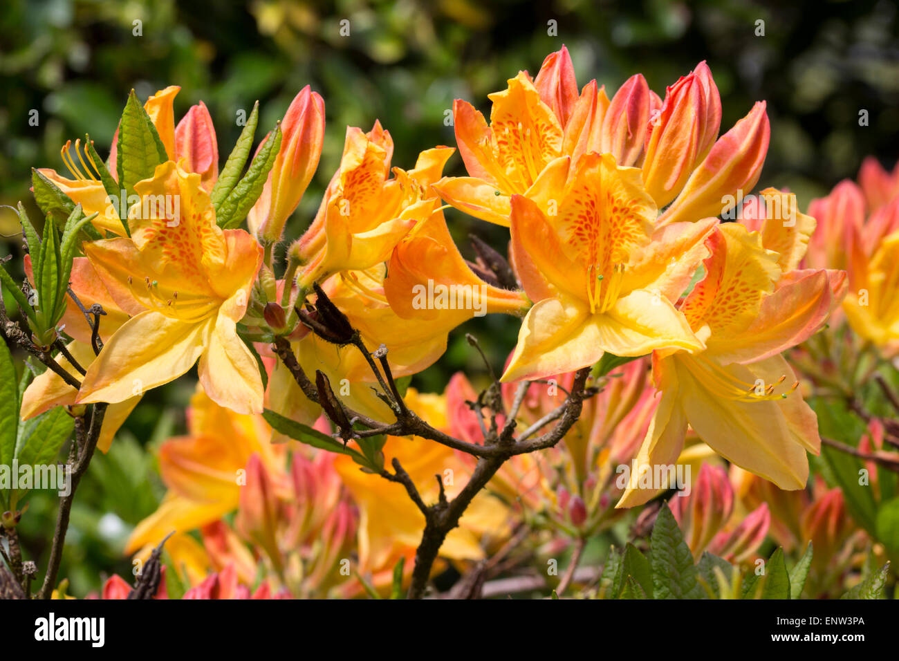 May flowers of the deciduous Azalea, Rhododendron 'Sunbeam' - Stock Image