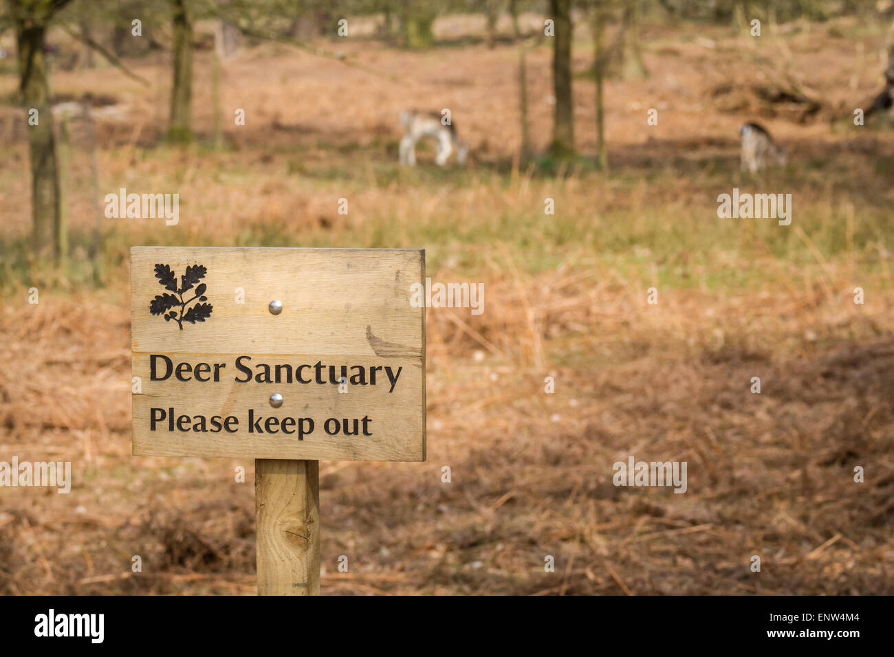 Fallow Deer in the Deer Sanctuary in the grounds of Dunham Massey, Altrincham, Cheshire, England. - Stock Image