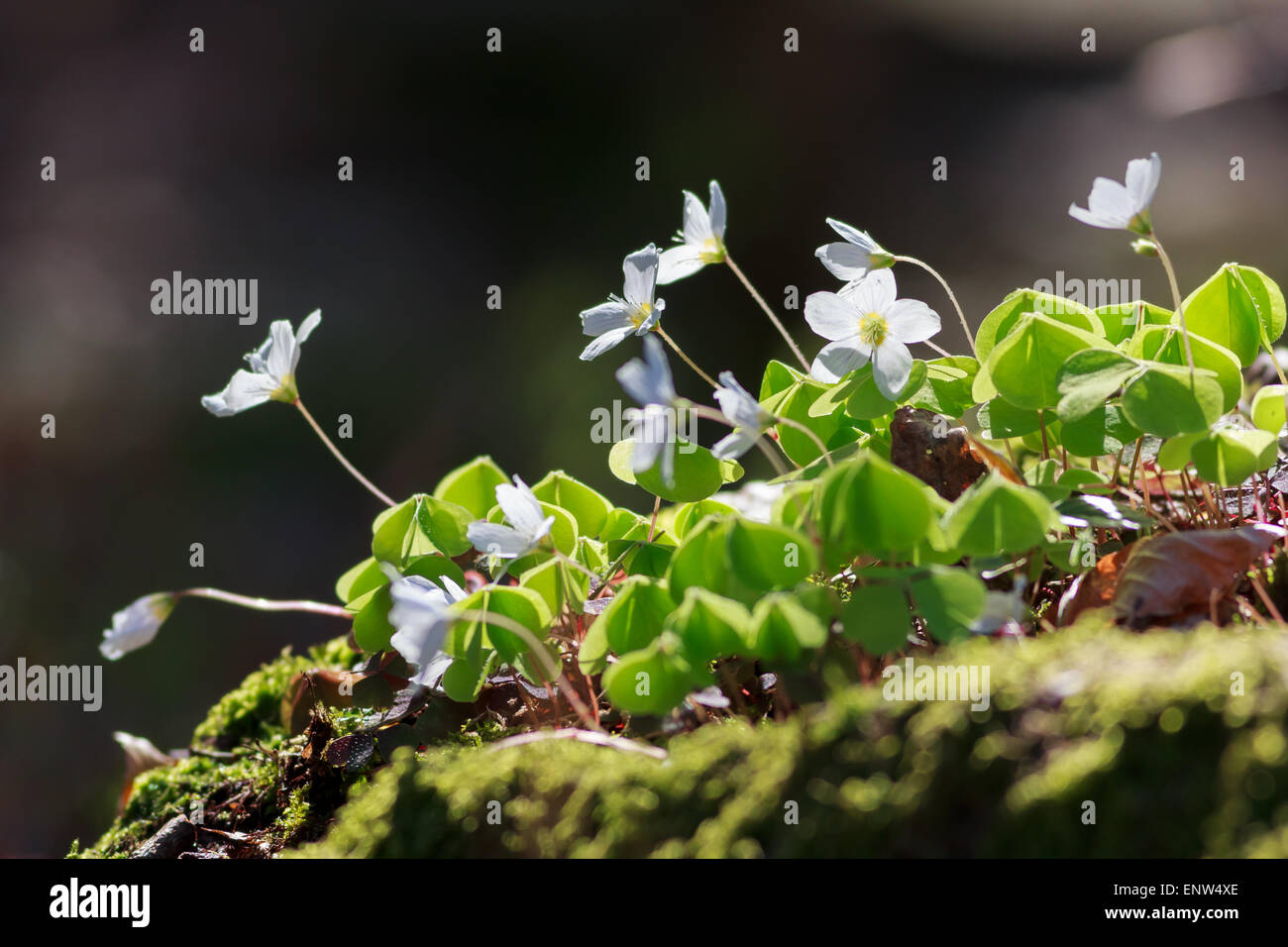 Wood Sorrel or Common Wood Sorrel with a blurred background - Stock Image