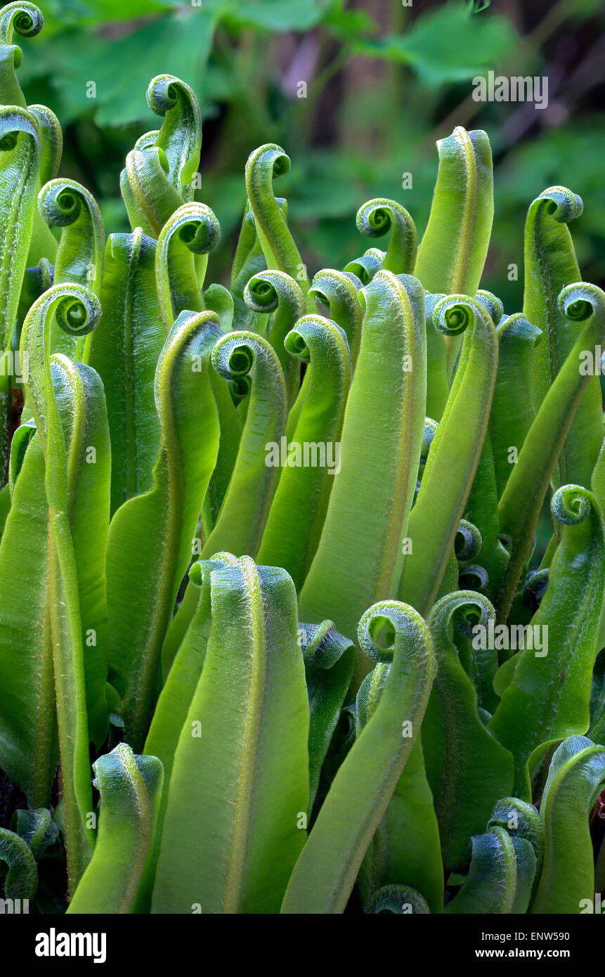 Focus stacked close up of a Heartstounge fern - Stock Image