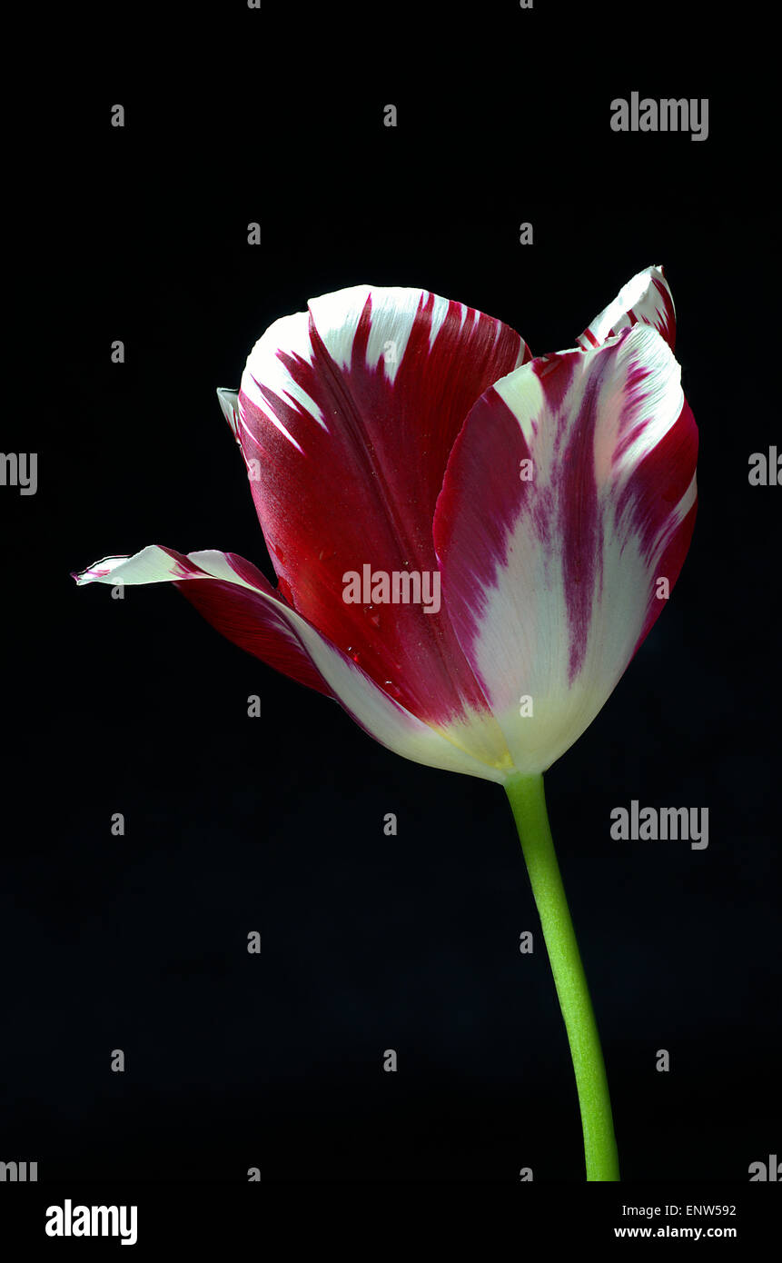 Focus stacked close up of a red and white striped tulip flower - Stock Image