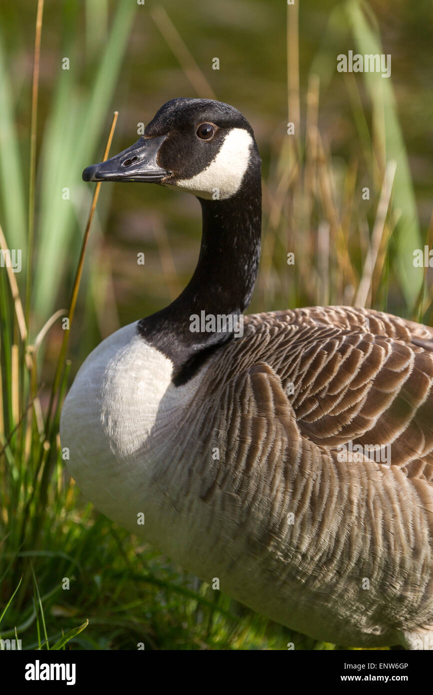 be9c9ca8aae Vertical shot ad adult Canada Goose with natural background Stock ...
