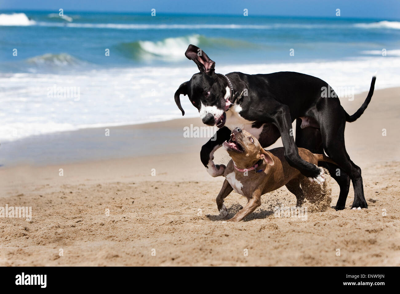 Black and White Great Dane dog and smaller Pitbull running and playing hard in sand on beach with ocean and waves - Stock Image