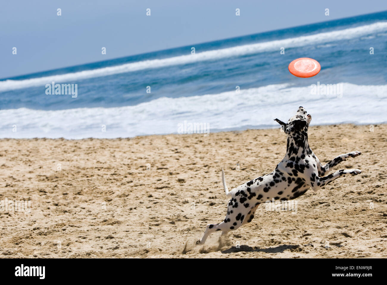 Dalmatian dog running and jumping for frisbee at beach in sand with ocean and blue sky in background on a sunny - Stock Image