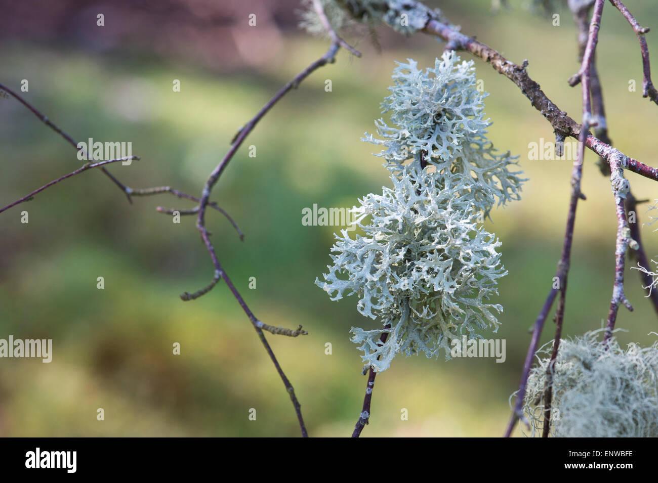 Lichen on a silver birch tree in Scotland. Non parasitic plant like organism - Stock Image