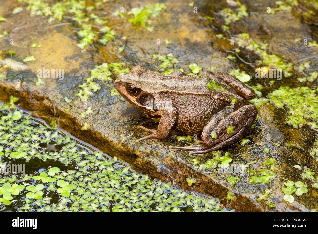Common frog, Rana temporaria, at the edge of a garden pond, Sheffield, South Yorkshire - Stock Image