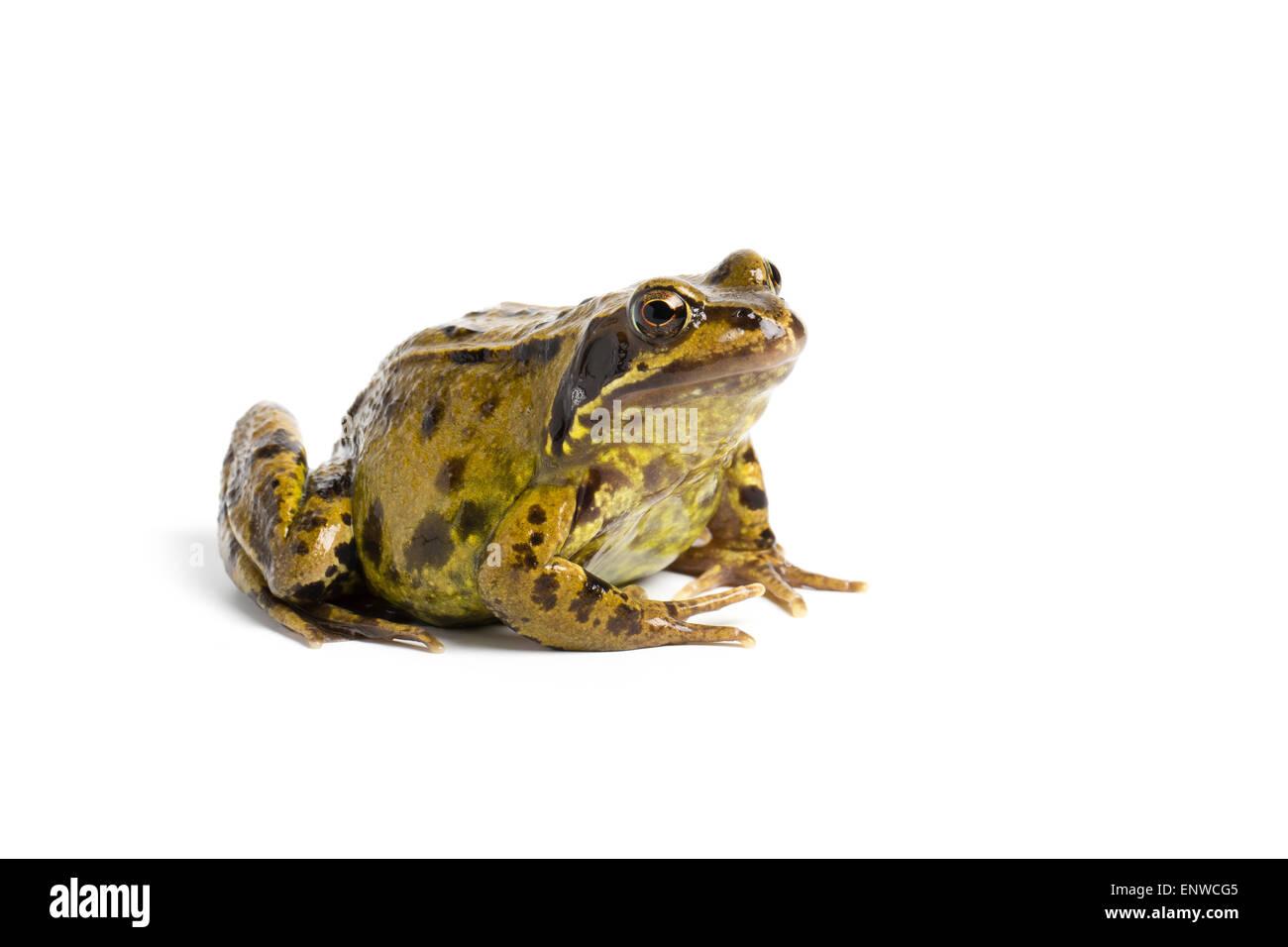 European common frog, Rana temporaria, on white background - Stock Image