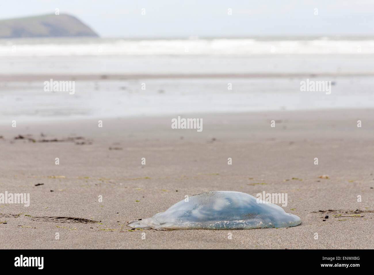 Jellyfish, jelly fish, washed up on Newport Sands Beach at Pembrokeshire Coast National Park, Wales in May Stock Photo