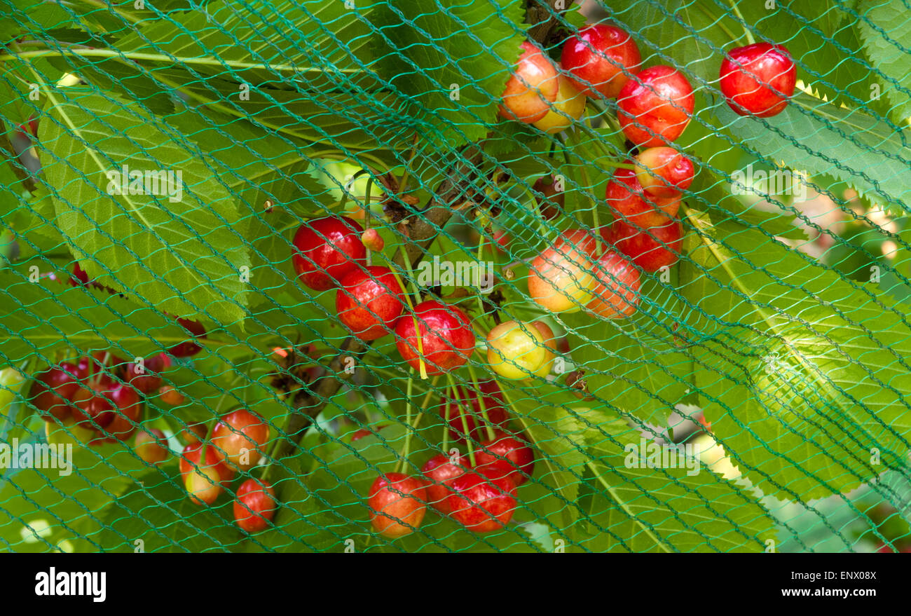 Cherries netted to protect them from birds (Italy) - Stock Image