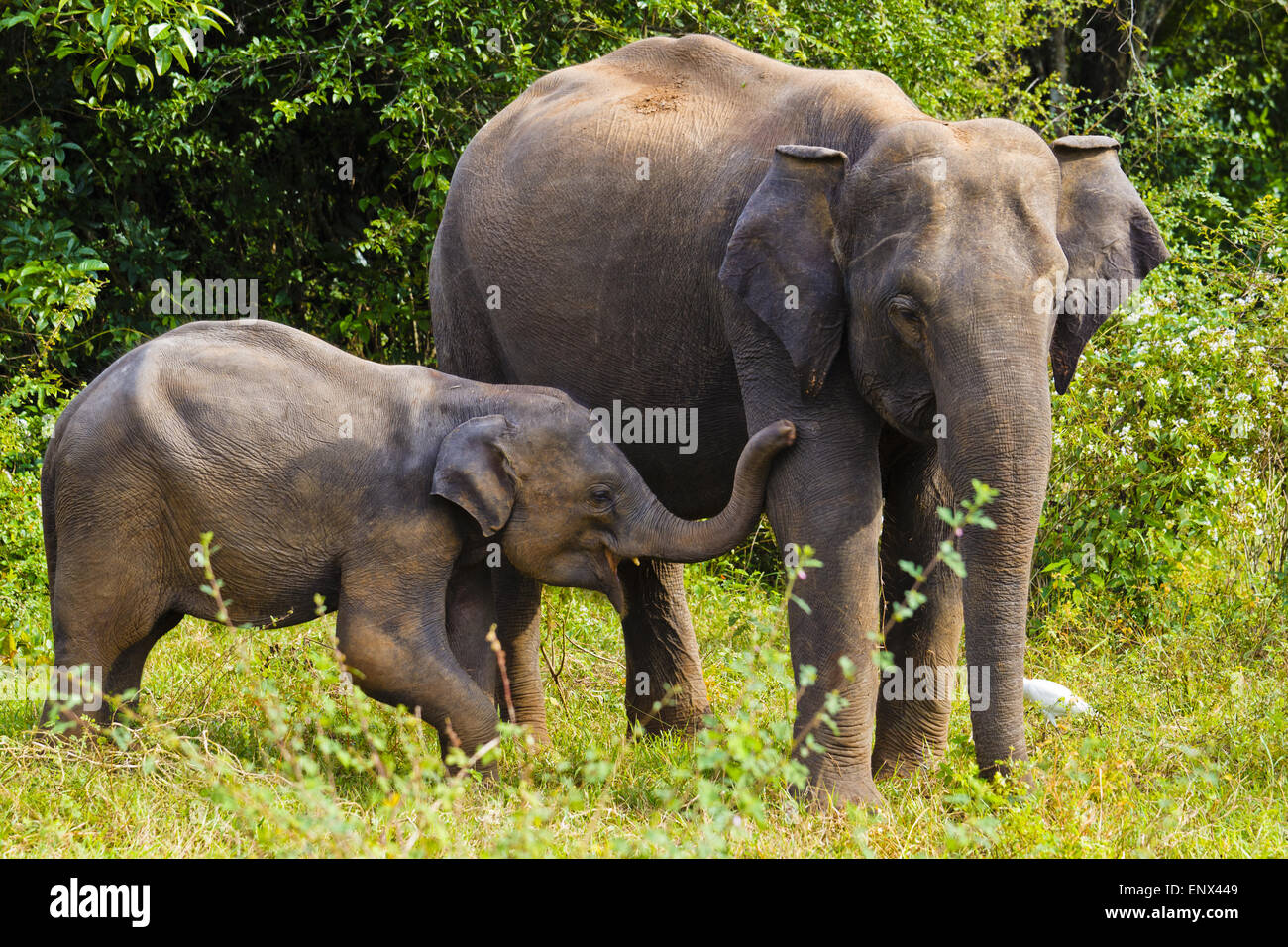 Asian Elephant - Wasgomuwa NP, Sri-Lanka Stock Photo