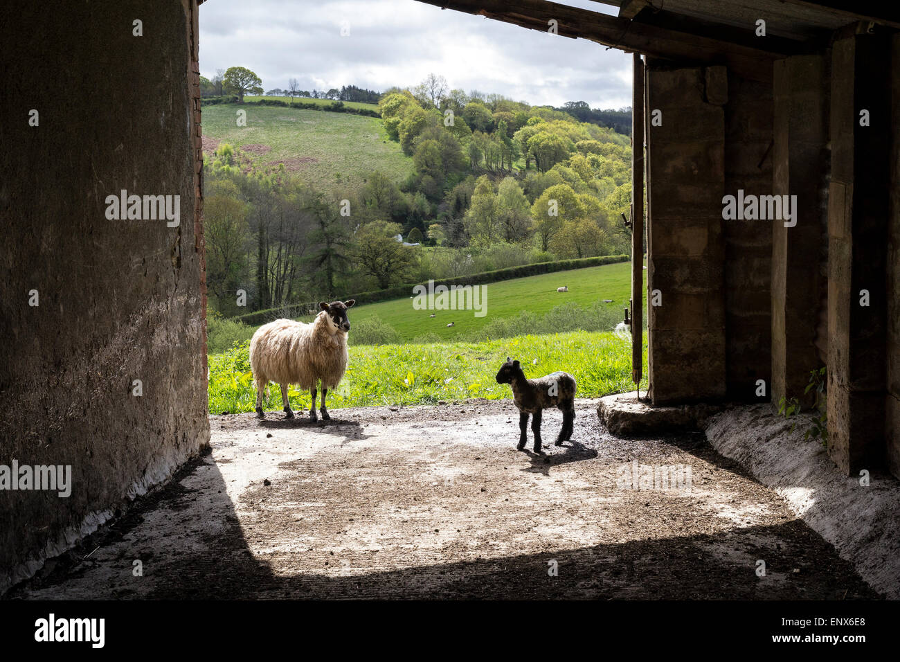 Ewe with lamb in pastoral scene.Shepherd,Livestock,Devon,Rural Scene,Flock Of Sheep,Dirt Road,Farm Animals,Agriculture,Animals - Stock Image