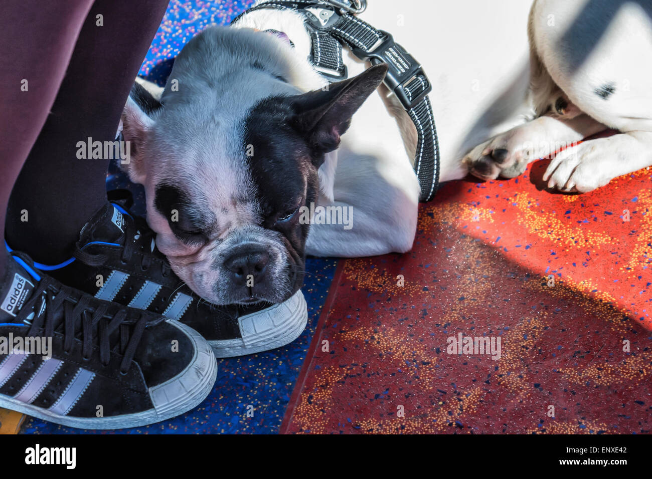 Tired sleeping dog rests its head on feet of owner - Stock Image
