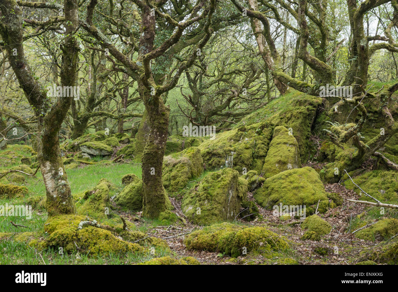 Ty Canol Ancient Oak woodland in Pembrokeshire, Wales - Stock Image