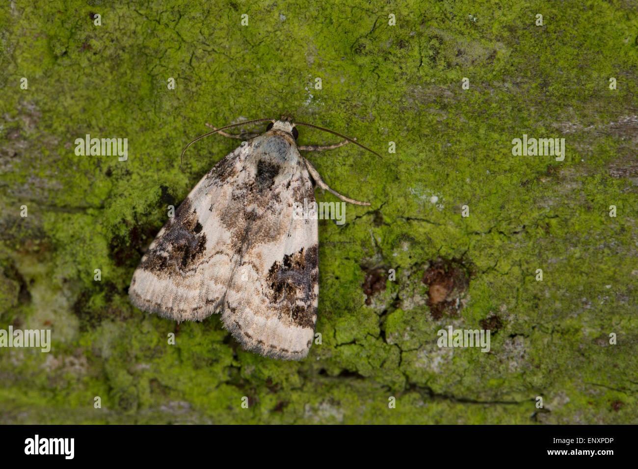 Shining Marbled, Dreieck-Grasmotteneulchen, Weißlichgraue Grasmotteneule, Pseudeustrotia candidula, Eustrotia - Stock Image
