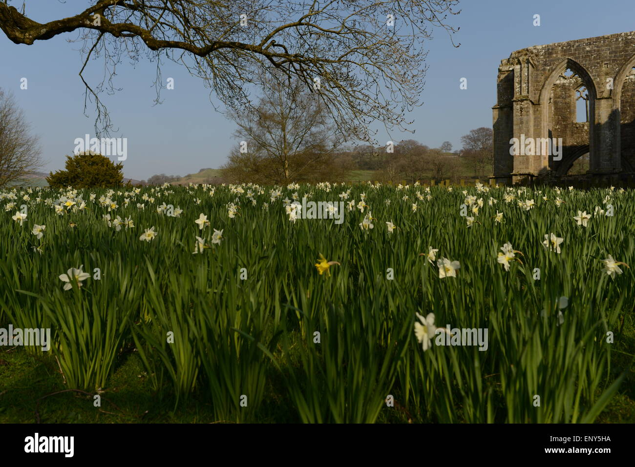A bank of daffodils at Bolton Abbey Priory with the ruins in the distance - Stock Image