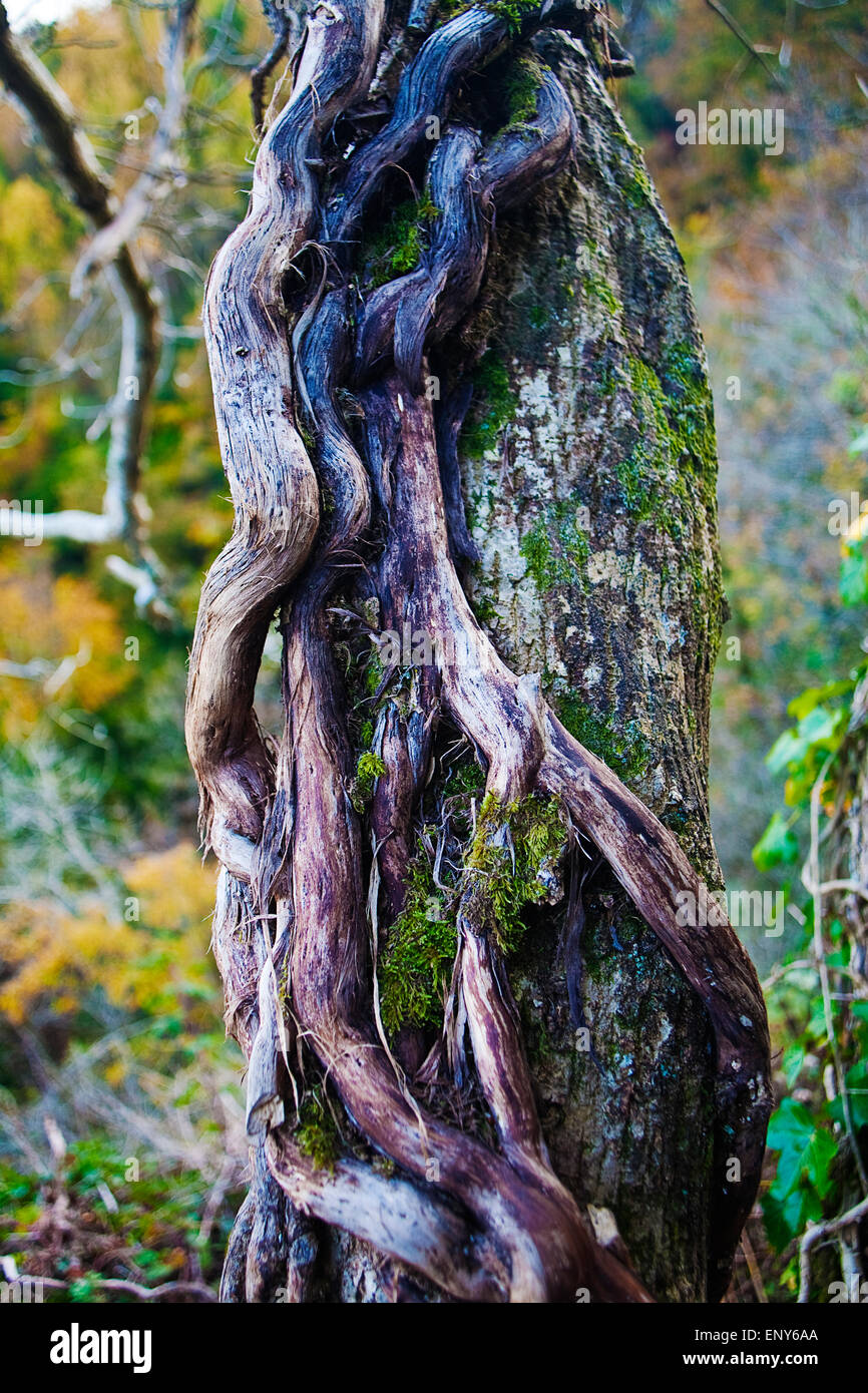 Ivy (hedera helix ) growing on tree - Stock Image