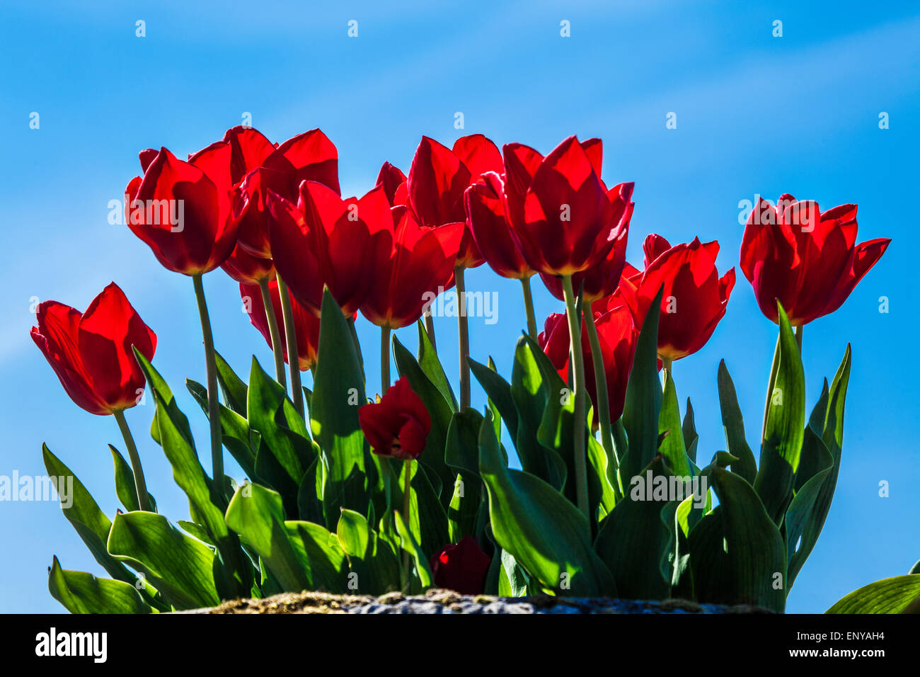 Red tulips growing in a container against a blue sky in the private walled garden at Bowood House in Wiltshire. - Stock Image