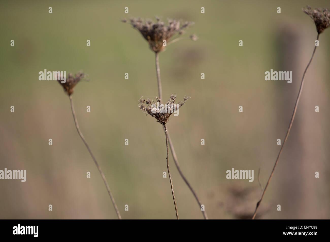 Dry flowers - Stock Image