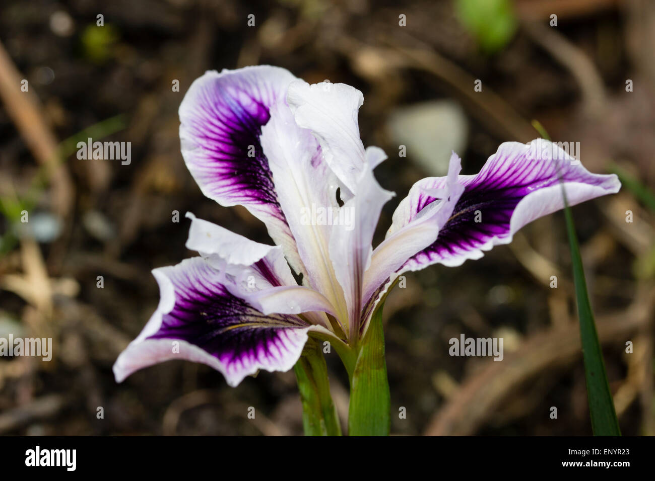 Flower of the Mitchell award wining Pacific Coast hybrid, Iris douglasiana 'Amiguita' - Stock Image