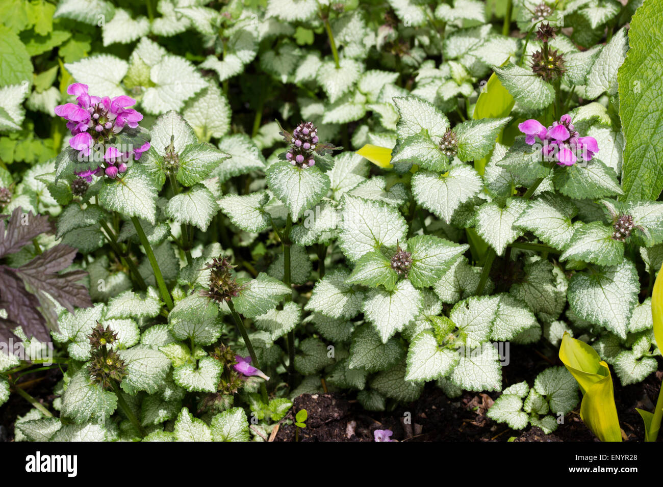 Flowers and silver foliage of the hardy ground cover, Lamium maculatum 'Beacon Silver' - Stock Image