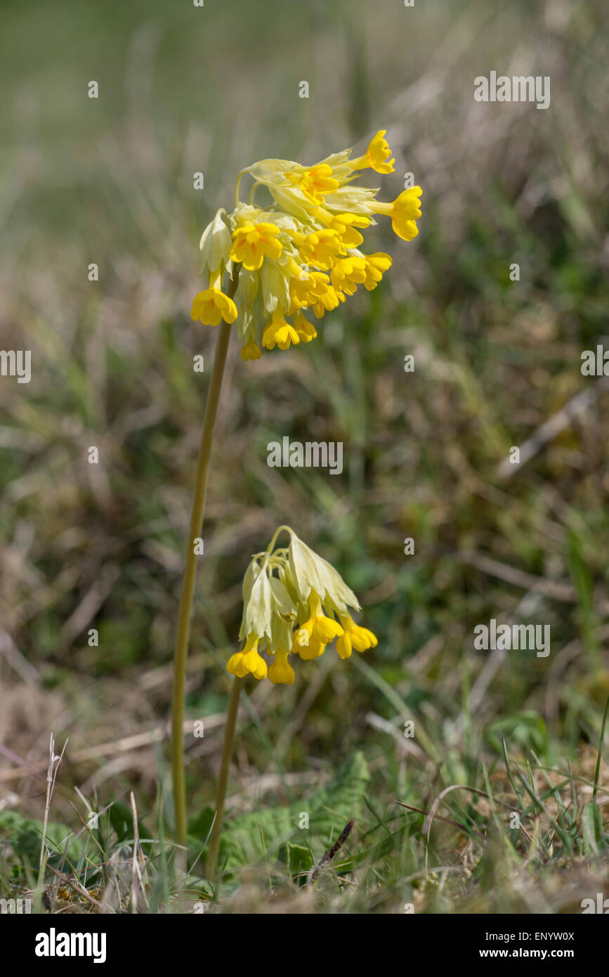 Cowslip (Primula veris) in bloom on a calcareous chalkland site. A foodplant of the Duke of Burgundy butterfly. - Stock Image