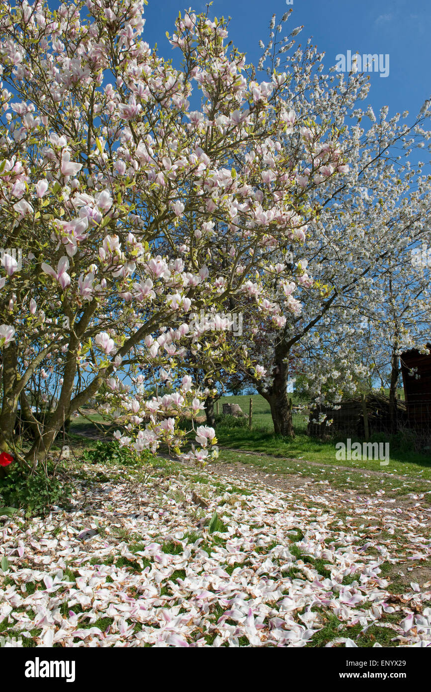 Petals falling on a large flowering Magnolia x soulangeana tree, behind is a flowering wild cherry tree both set - Stock Image
