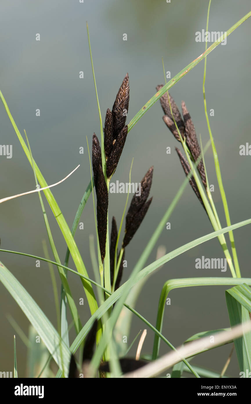 Common or black sedge, Carex nigra, flowering on the bank of the Kennet and Avon Canal, Hungerford, Berkshire, April - Stock Image
