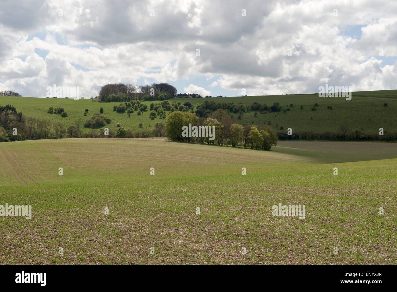 A crop of spring barley on a fine early spring day with dowland behind , Berkshire, April - Stock Image