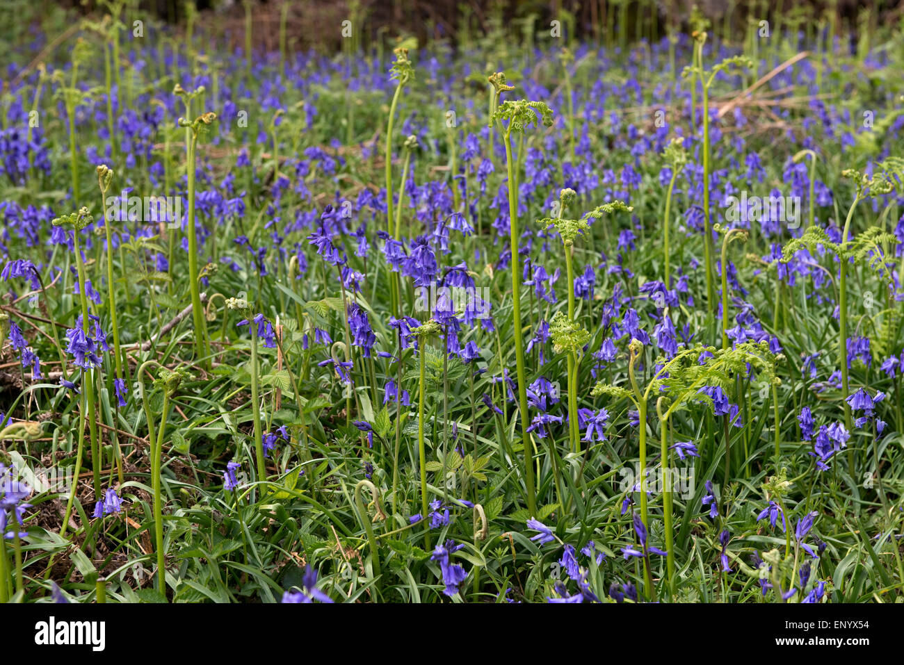 Bluebells in flower with shoots of young bracken in a spring woodland, Berkshire, April - Stock Image