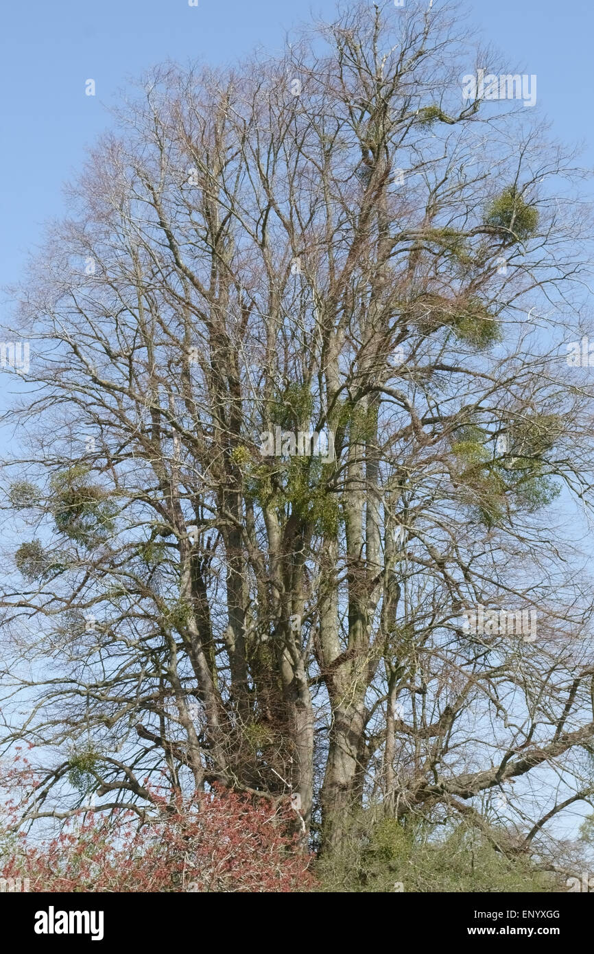 European mistletoe, Viscum album, bunches in a tall leafless tree in early spring, Hampshire, April - Stock Image