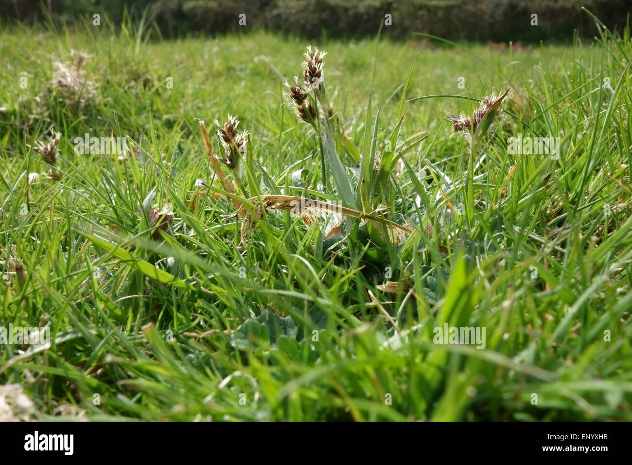 Field woodrush or Good Friday grass, Luzula campestris, flowering in short grassland, Berkshire, April - Stock Image