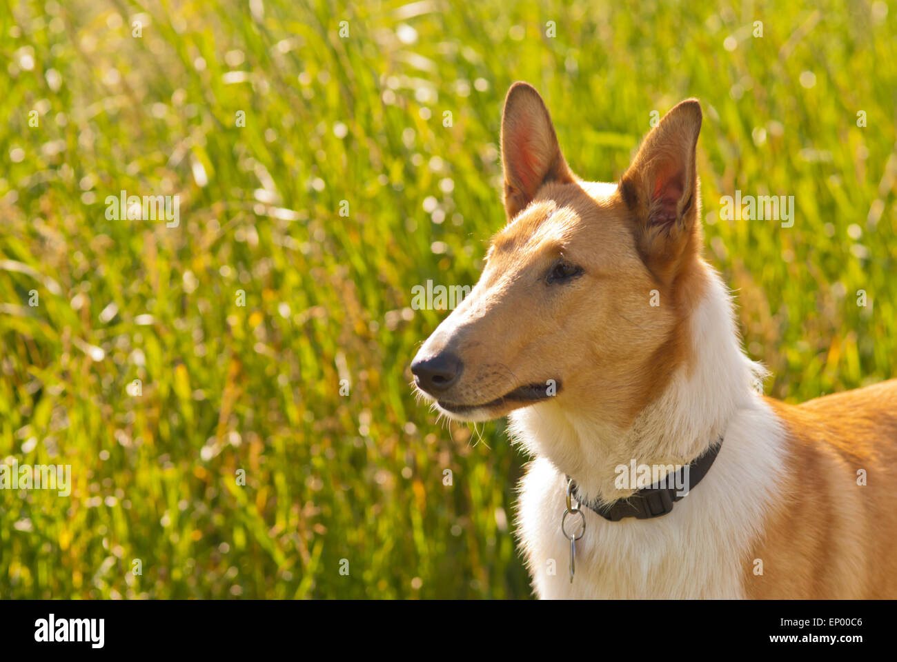 Portrait of a smooth collie dog, Canis lupus familiaris, in the early morning sunlight - Stock Image