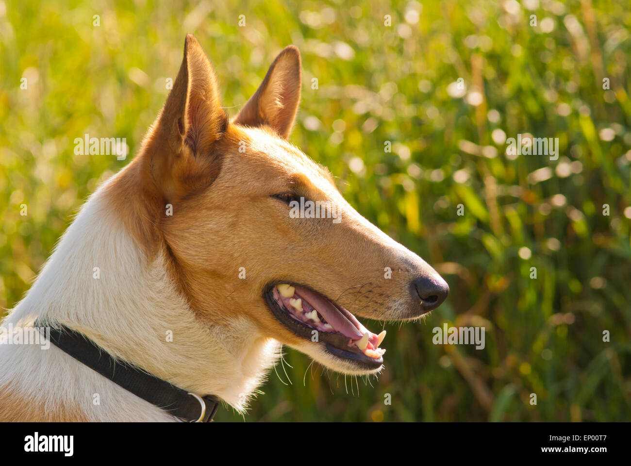 Profile view of a smooth collie dog, Canis lupus familiaris. - Stock Image