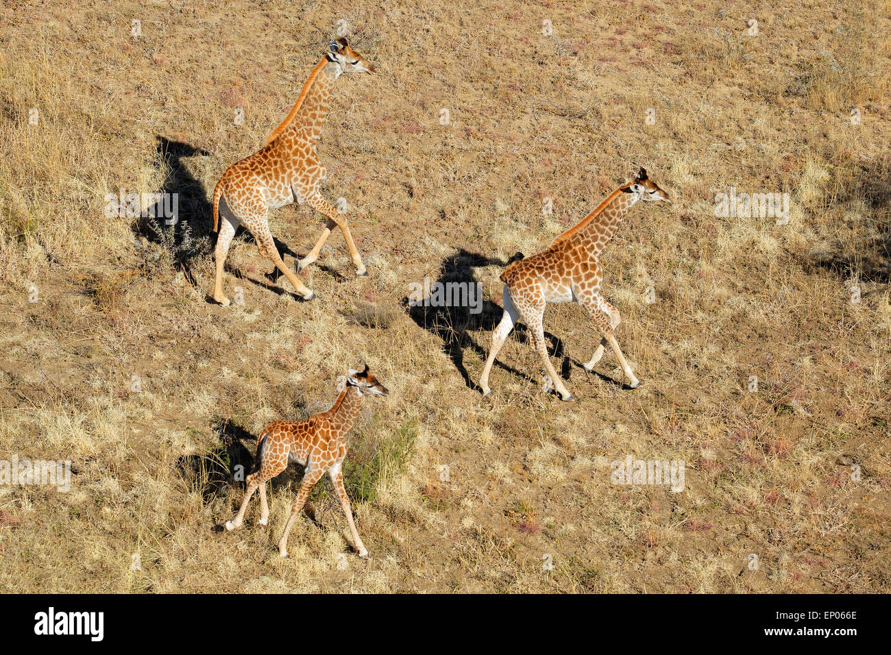 Aerial view of running giraffes (Giraffa camelopardalis), South Africa - Stock Image
