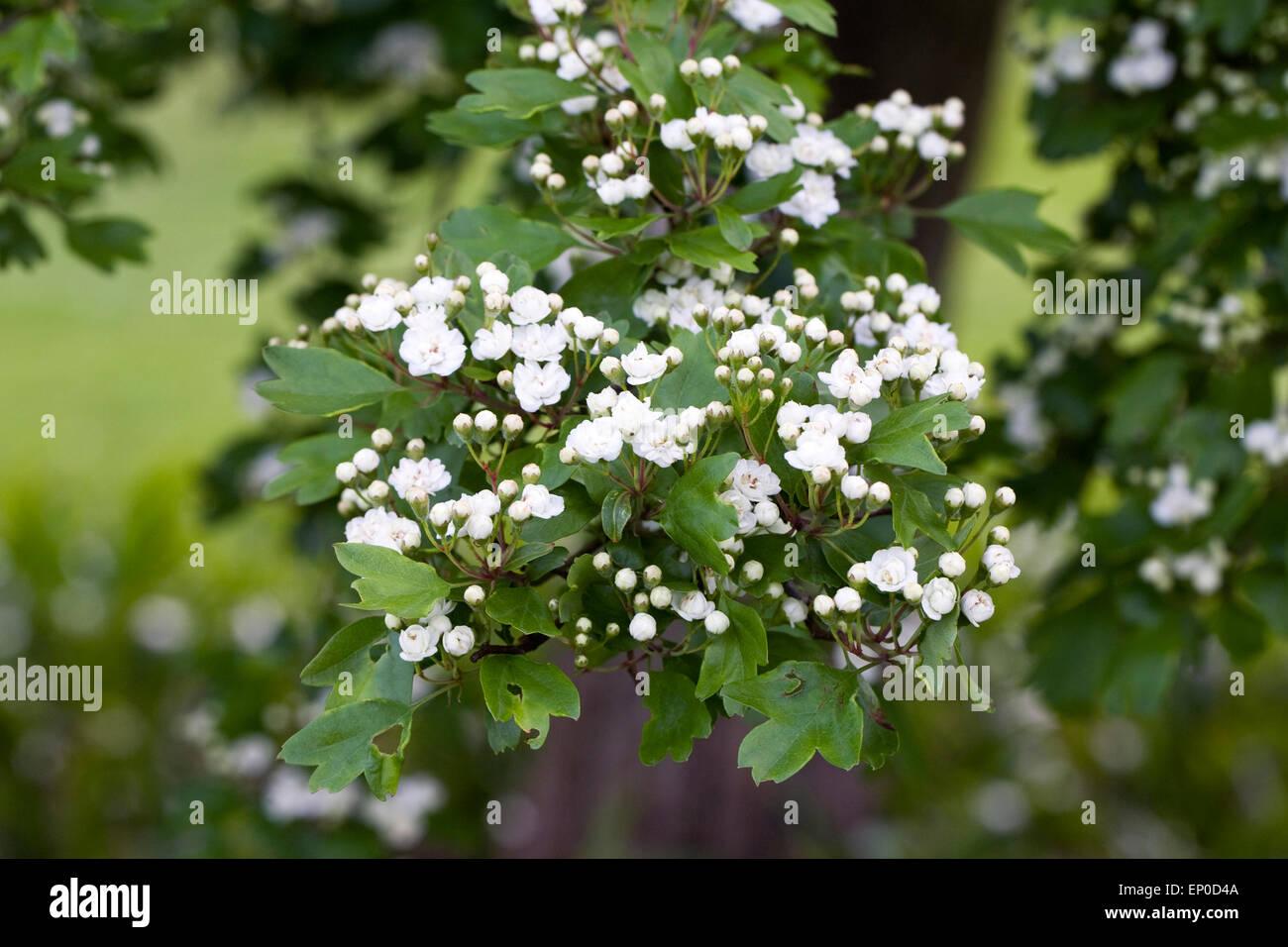 Crataegus Laevigata Plena Double White Hawthorn Flowers Stock