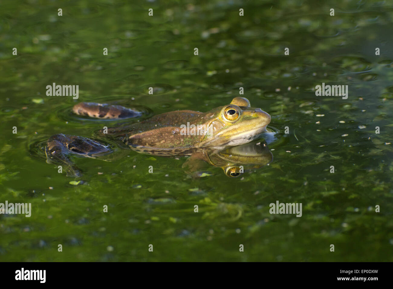 Edible or common water frog (Pelophylax kl. Esculentus) swimming in a pond - Stock Image
