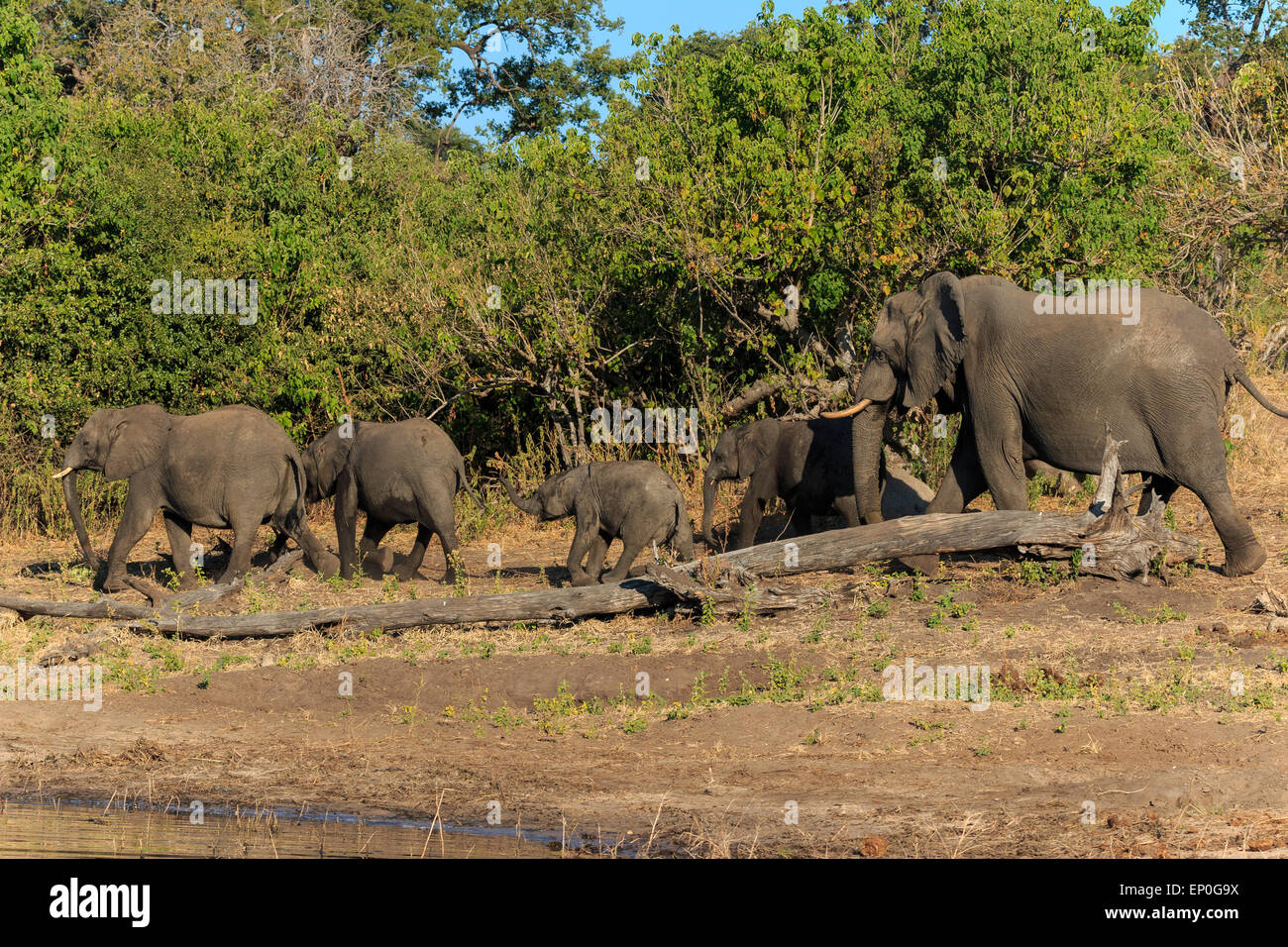 Group and baby elephant drinking river Chobe, Botswana, Africa. Safari during travel. - Stock Image