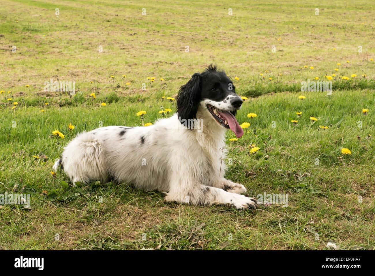 panting Springer Spaniel. - Stock Image