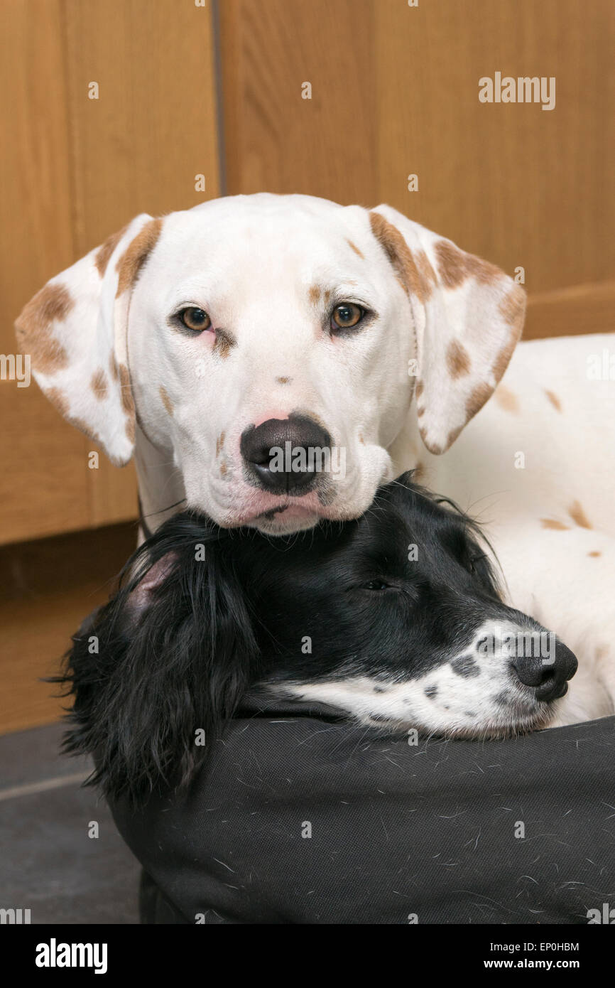 2 resting dogs. - Stock Image