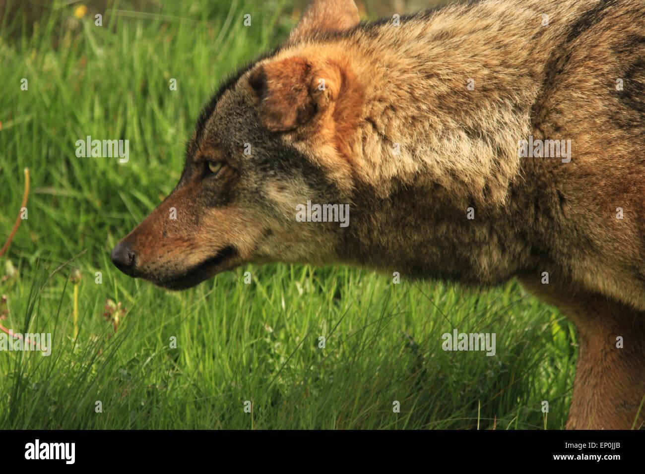 Grey Wolf - Stock Image