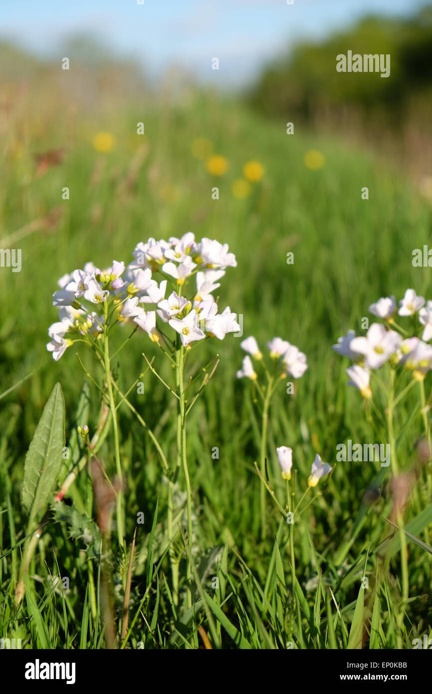 White wildflower buds stock photos white wildflower buds stock cardamine pratensis wild white meadow flower commonly known as cuckoo flower or ladys smock in herefordshire mightylinksfo