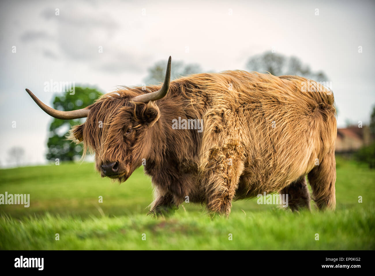 A Scottish Highland cow in a green field, on a windy day. Stock Photo