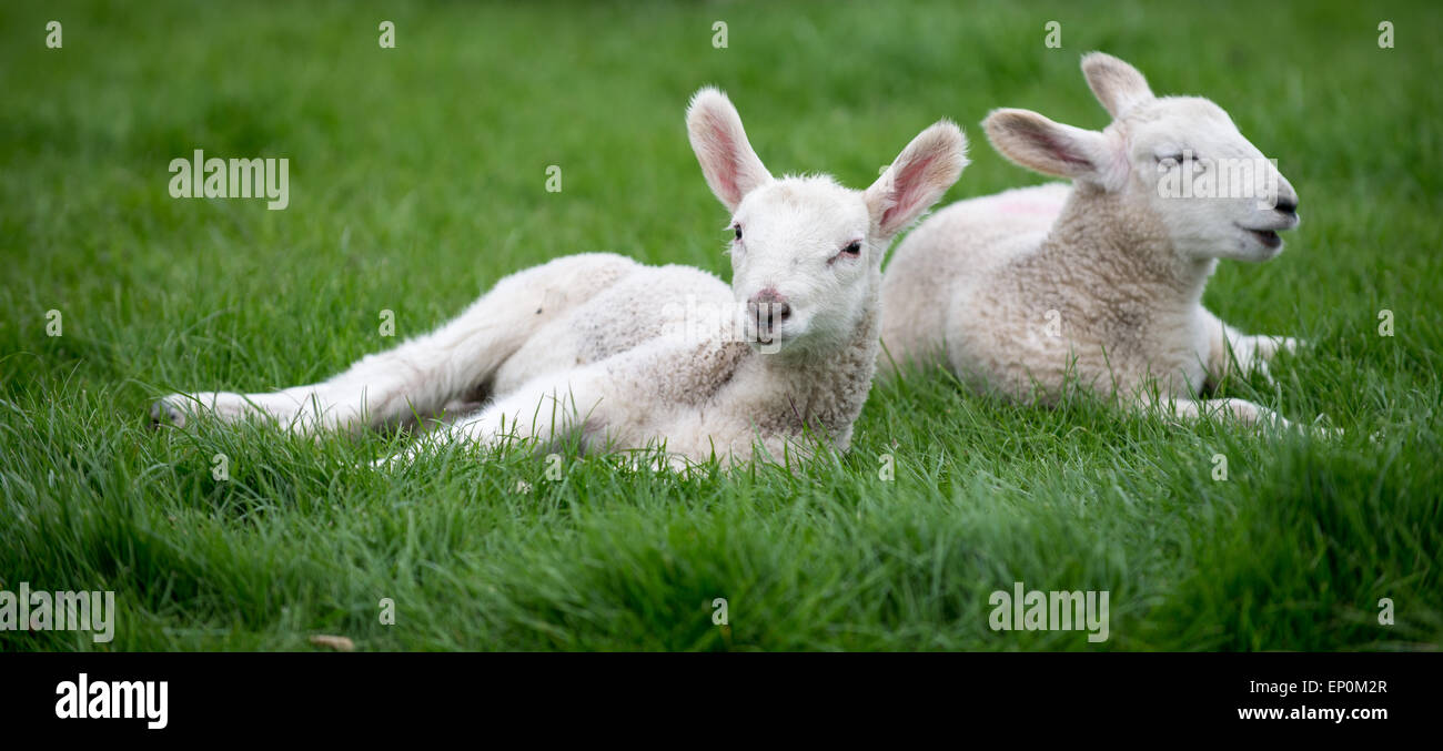 Spring lambs laying in a green field relaxing Stock Photo