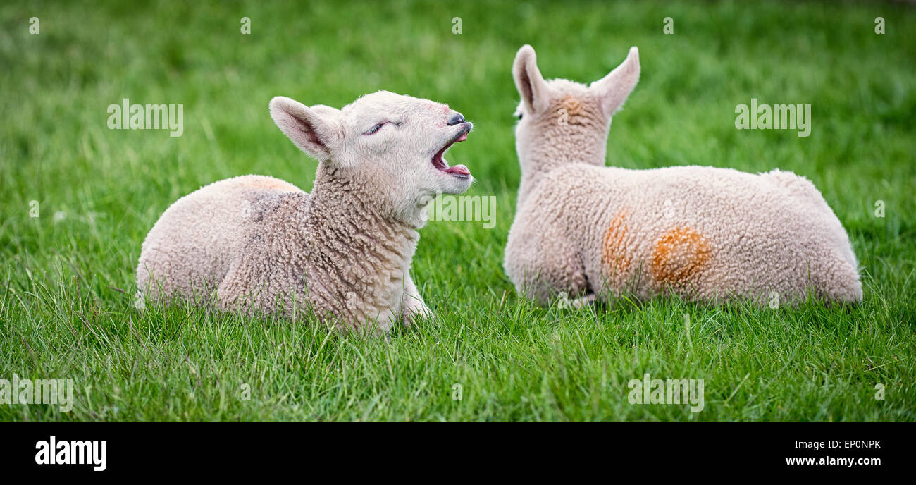 A young lamb yawns after waking from an afternoon nap. Stock Photo