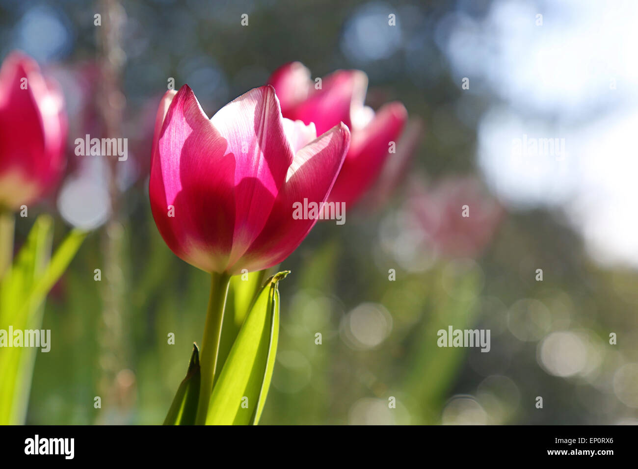 Pink Tulip flowers lit from behind. Blurred trees behind - Stock Image