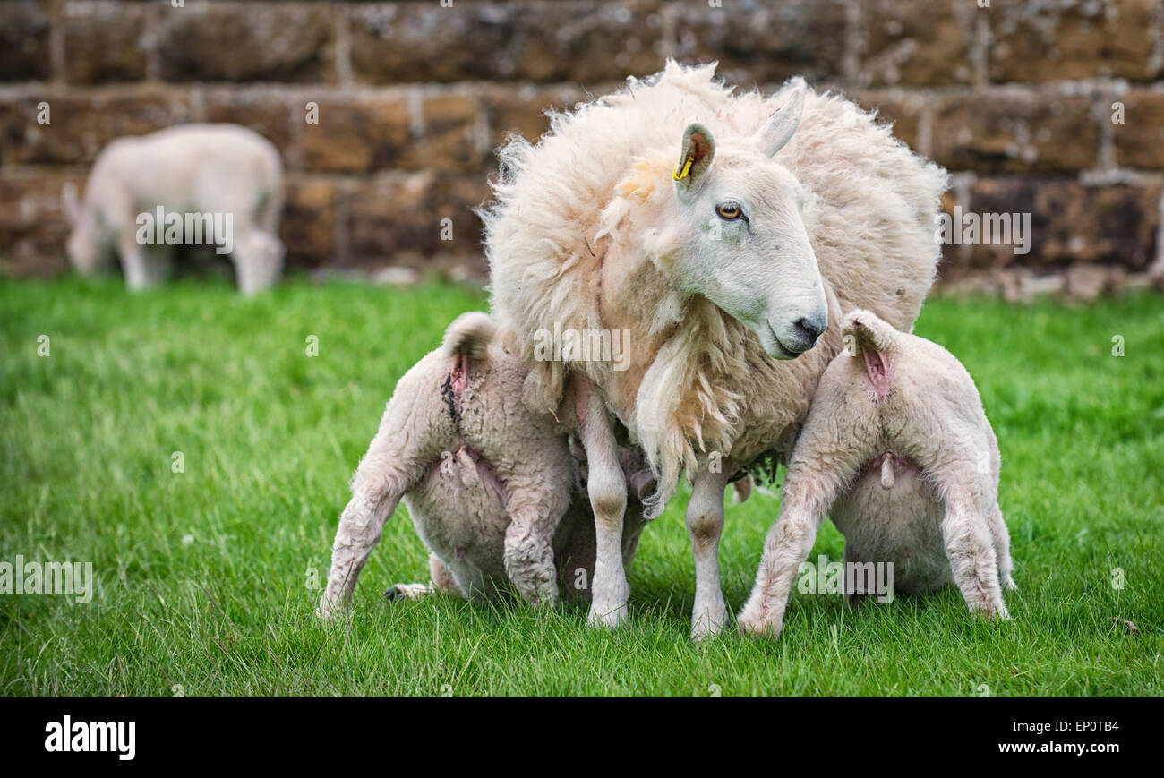 Two lambs suckle milk from their mother. Stock Photo