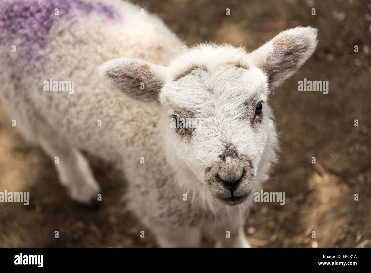 A close-up of a spring lamb in a farmyard. Stock Photo